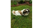 Picture of Pekingese dog (Cookie)