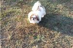Picture of CKC Male Pekingese dog (Andy)