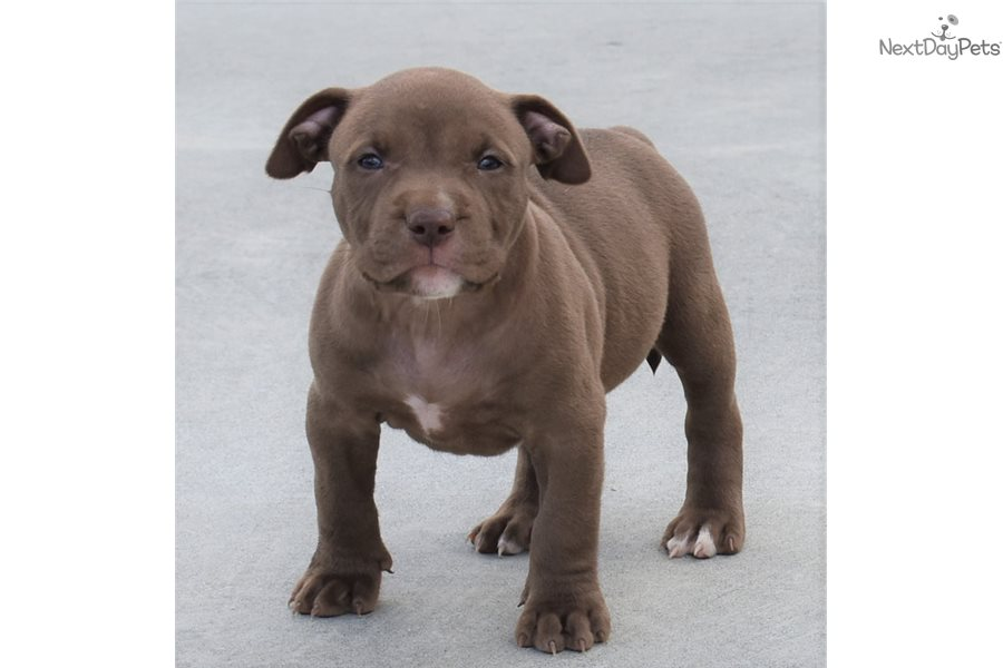 Male C: American Pit Bull Terrier puppy for sale near ...