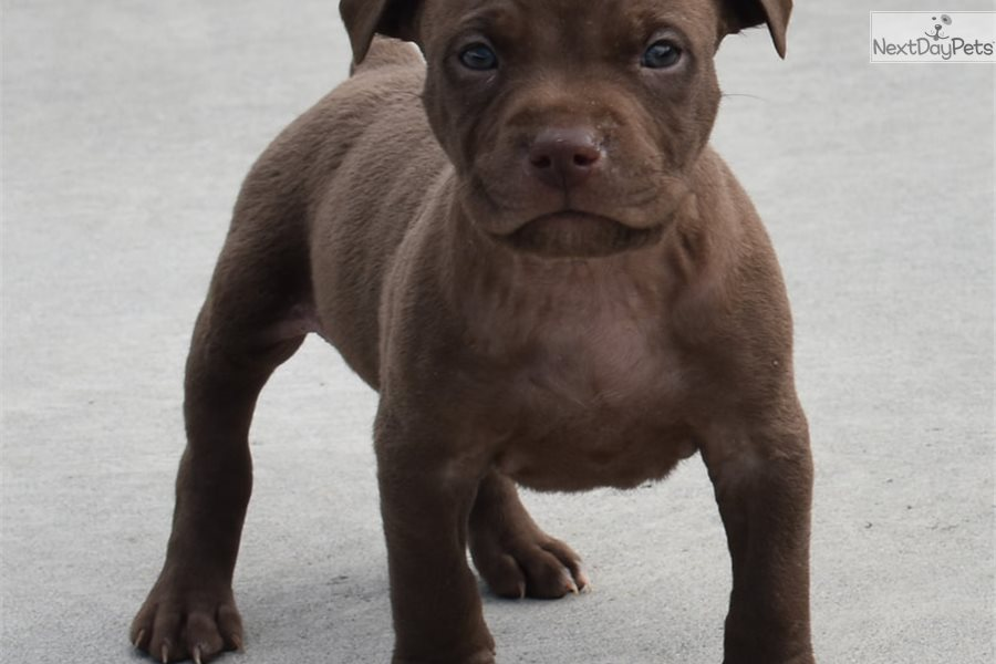 Male D: American Pit Bull Terrier puppy for sale near ...