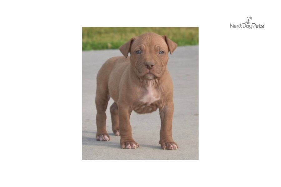Male A: American Pit Bull Terrier puppy for sale near ...
