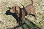 Picture of Chocolate Rednose Pitbull Terrier UKC Pup Female
