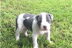 Picture of Carolina Blue Female Pup Available Puppy