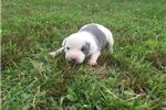 Picture of Female C UKC Blue & White Puppy Available