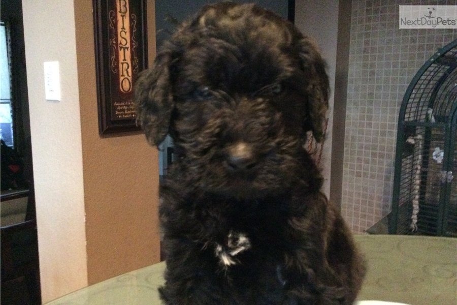Goldendoodle Puppy For Sale Near Dallas Fort Worth Texas