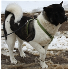 View full profile for Country Akitas