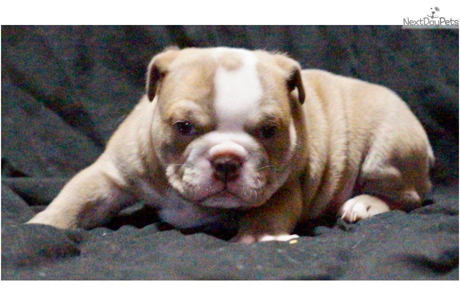 Grace English Bulldog Puppy For Sale Near Colorado Springs