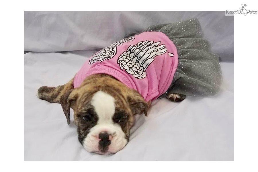 Millie: English Bulldog puppy for sale near Denver ...