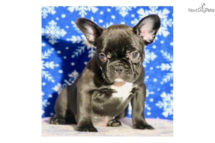Gidget French Bulldog Puppy For Sale Near Colorado Springs