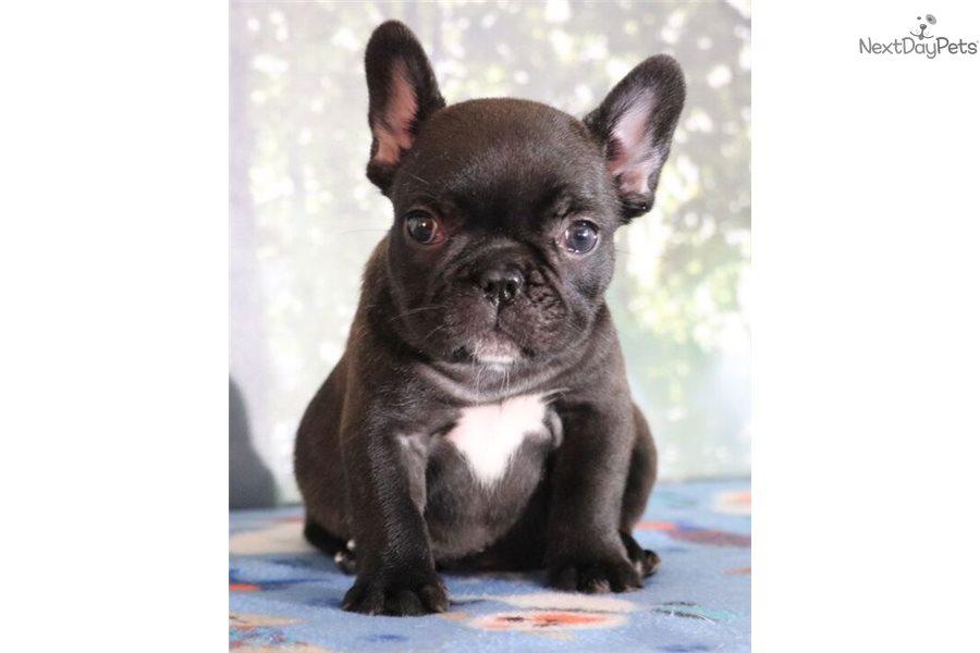 Maisy French Bulldog Puppy For Sale Near Colorado Springs