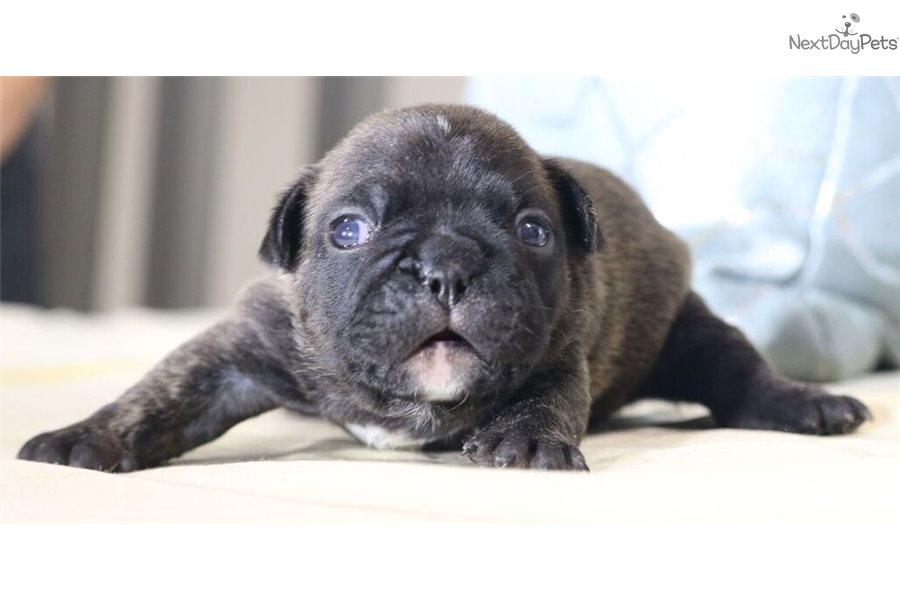 Gizmo French Bulldog Puppy For Sale Near Colorado Springs