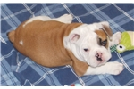 Picture of Denny - Champion English Bulldog Puppy