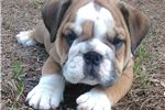 Picture of Colosses - Fawn English Bulldog Male