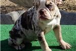 Picture of Carina - Chocolate Tri Merle Female