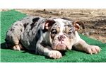 Picture of Cassiopeia - Blue Tri Merle Female English Bulldog