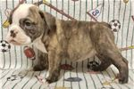 Picture of Popeye - Brindle Male English Bulldog puppy