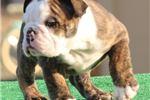 Picture of Bonnie - Brindle Female English Bulldog Puppy