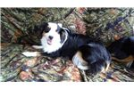 Miniature American Shepherd Puppies for Sale from Reputable