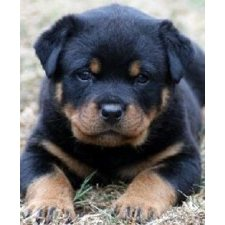 View full profile for Rock Rottweilers