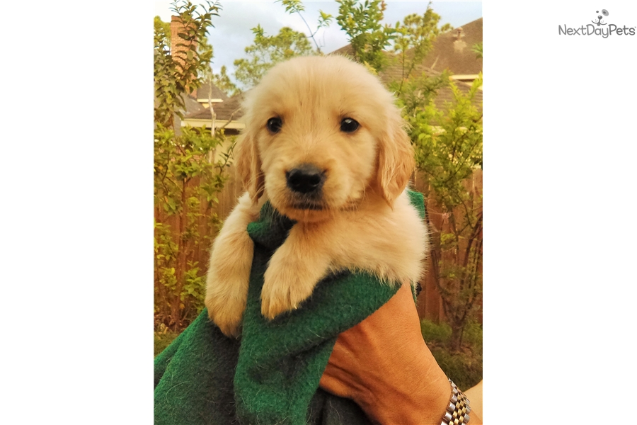 Polo Golden Retriever Puppy For Sale Near Houston Texas C1c4732b