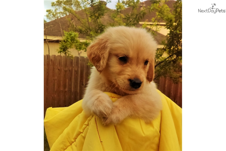 Pepper Golden Retriever Puppy For Sale Near Houston Texas