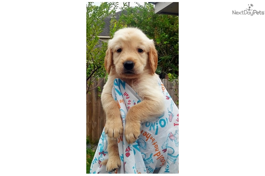 Pango Golden Retriever Puppy For Sale Near Houston Texas