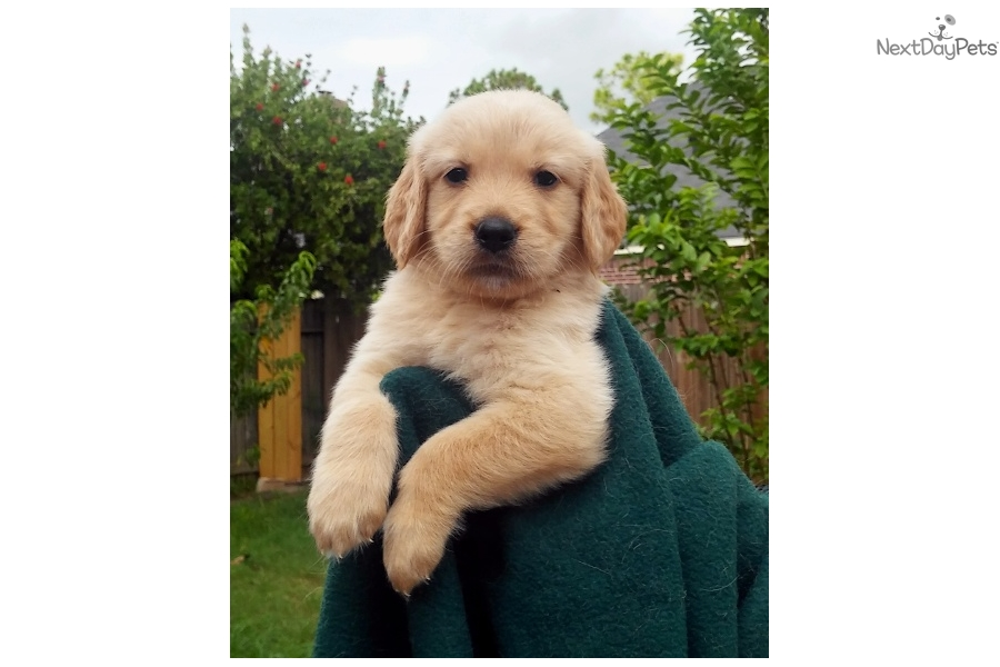 golden retriever texas golden retriever puppy for sale near houston texas 8401