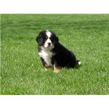 View full profile for Green Meadows Bernese