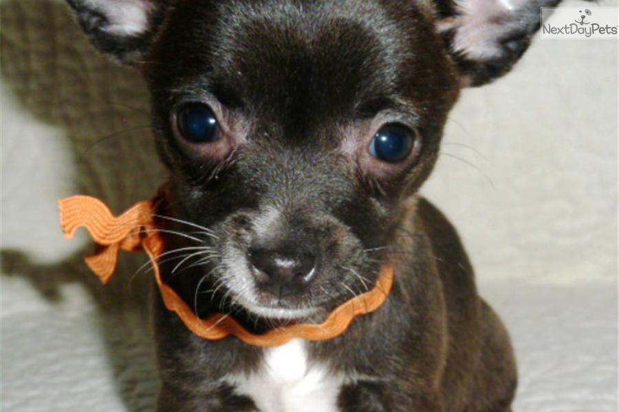 chihuahua for sale in pa chihuahua for sale for 800 near philadelphia 2414