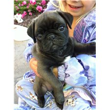 View full profile for Pam's Pugs