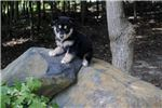 Picture of * 70% MALE TIMBERWOLF HYBRID - $1000