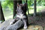 Wolf Hybrid for sale