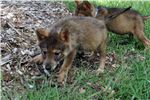 Picture of * 70% FEMALE TIMBERWOLF HYBRID - $1200