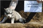 Picture of * 70% FEMALE TIMBERWOLF HYBRID - $1000