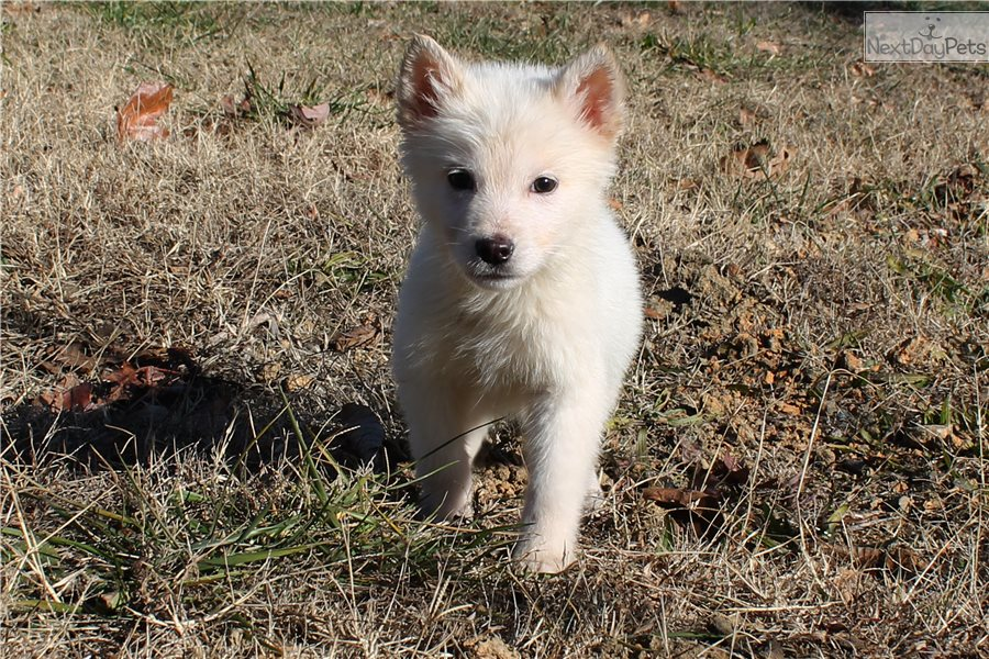 Little Winter: Wolf Hybrid puppy for sale near Charlotte, North