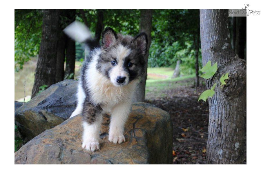 Wolf Hybrid Puppy For Sale Near Charlotte North Carolina 0bb0854c