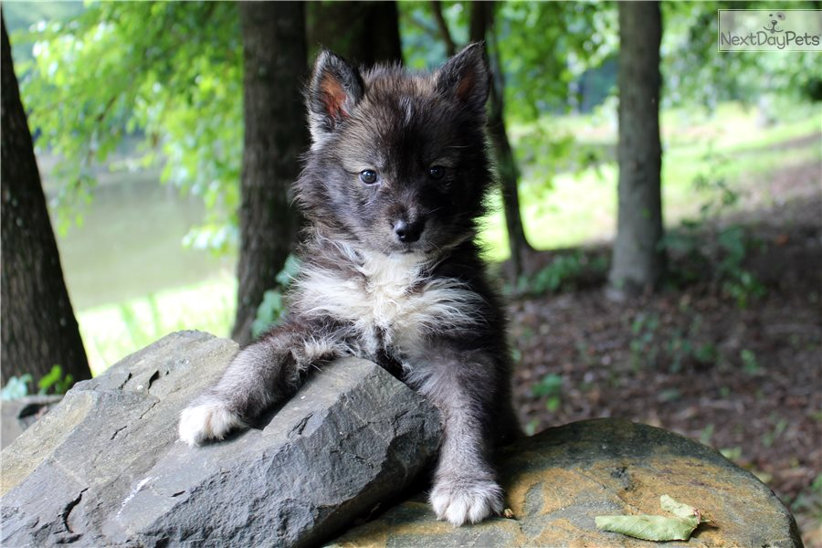 Rose Glen North Dakota ⁓ Try These Wolf Puppies For Sale Charlotte Nc