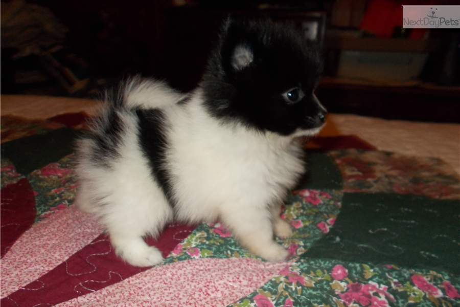 Fulbright Puppies Pomeranian Puppy For Sale Near Hickory Lenoir