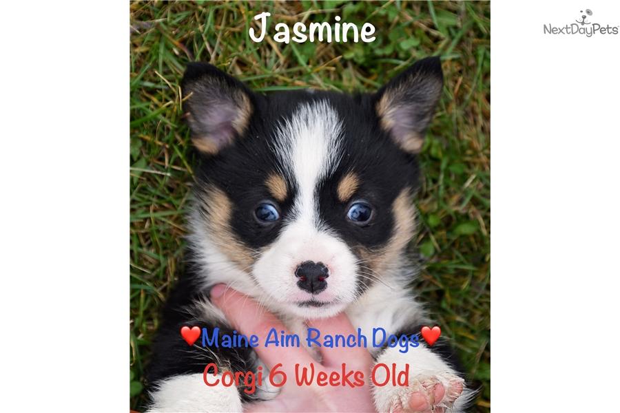 Rupunzal Corgi Puppy For Sale Near Des Moines Iowa 015a9870 B371