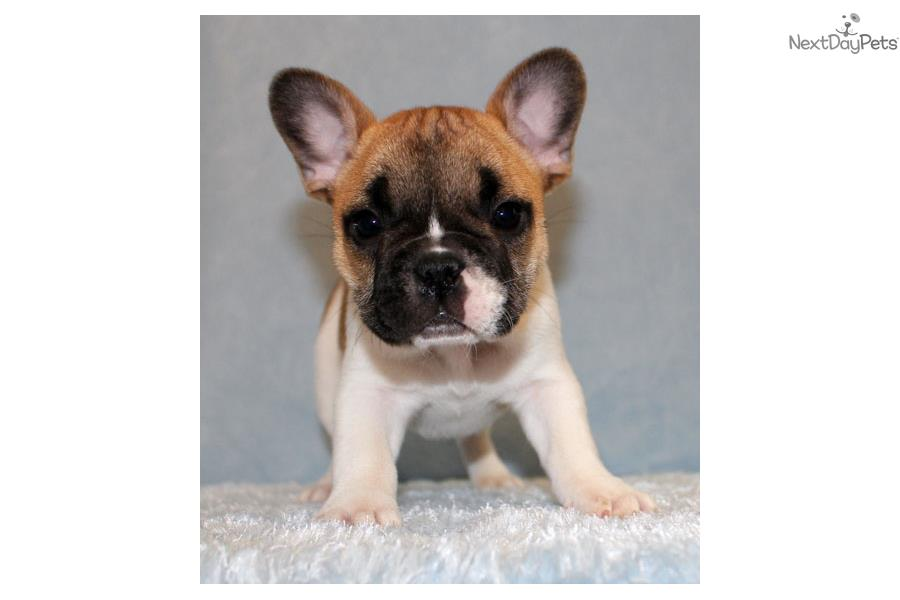 french bulldog for sale near me french bulldog puppy for sale near los angeles california 4366