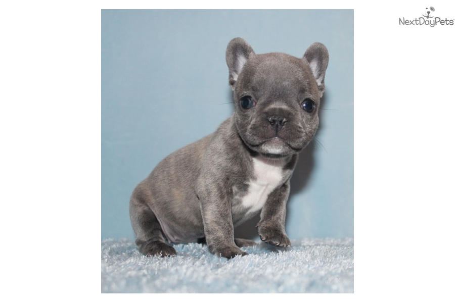 mini french bulldog for sale near me