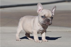 Picture of AKC Lilac Fawn