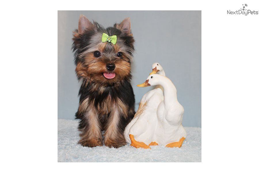 Ringo Yorkshire Terrier Yorkie Puppy For Sale Near Los Angeles