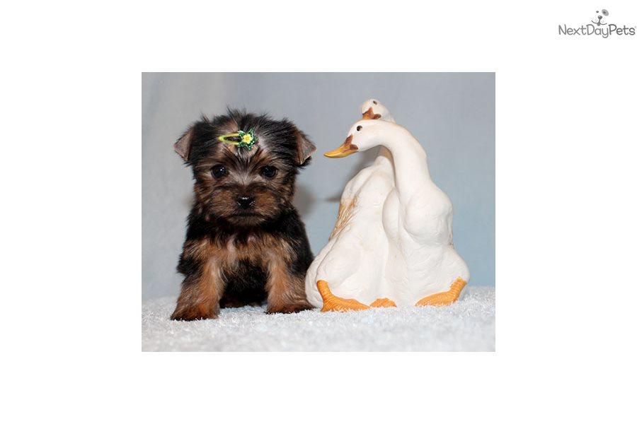 Jax Yorkshire Terrier Yorkie Puppy For Sale Near Los Angeles