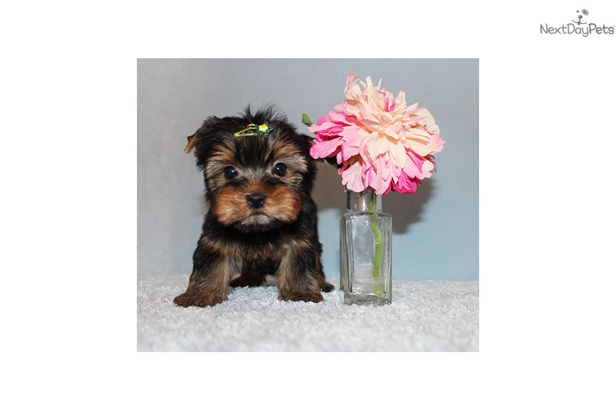 Nori: Yorkshire Terrier - Yorkie puppy for sale near Los Angeles