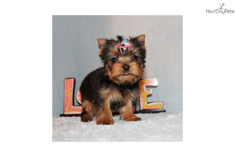 Skyy: Yorkshire Terrier - Yorkie puppy for sale near Los Angeles