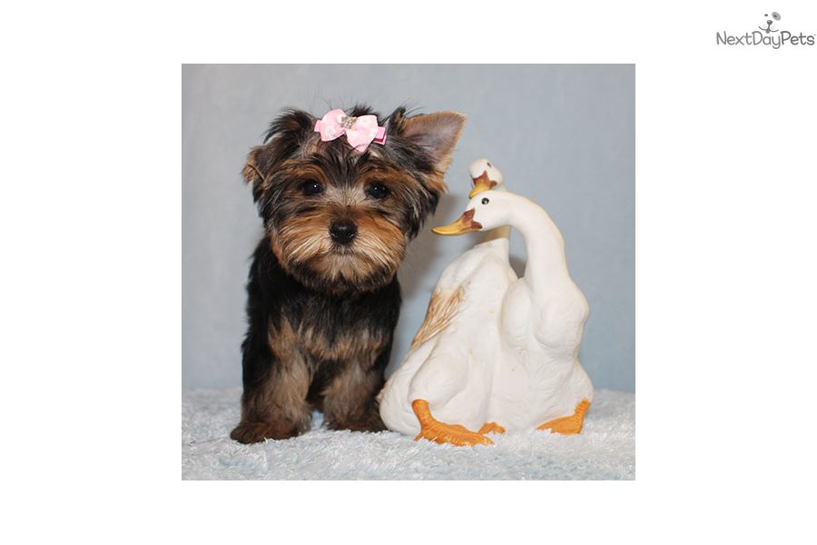 Dasha Yorkshire Terrier Yorkie Puppy For Sale Near Los Angeles