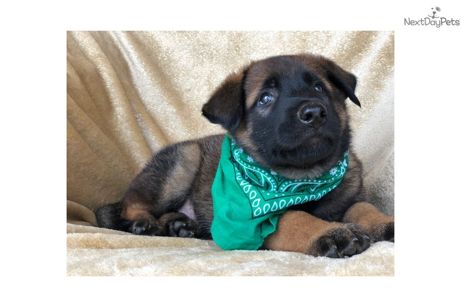 Axel: Belgian Malinois puppy for sale near In Ireland
