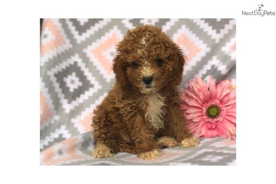 Georgia: Cavapoo puppy for sale near Lancaster