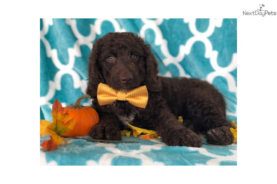 Bayer: Cockapoo puppy for sale near Lancaster